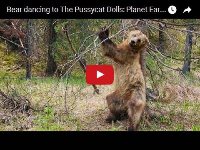 Medveď tancuje na melódiu The Pussycat Dolls: Planéta Zem II Trailer - BBC One