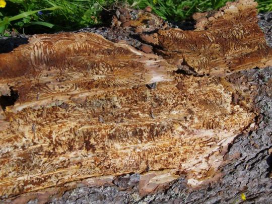 Kalamita v štátnych lesoch: Prioritou zastavenie šírenia lykožrúta do zdravých smrečín