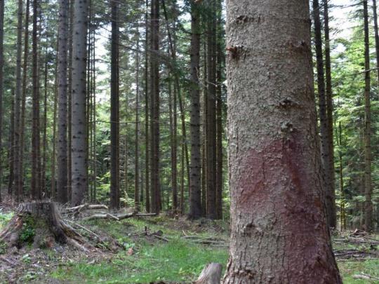 Poškodenia stromov pri približovaní dreva sú včas a účinne ošetrované