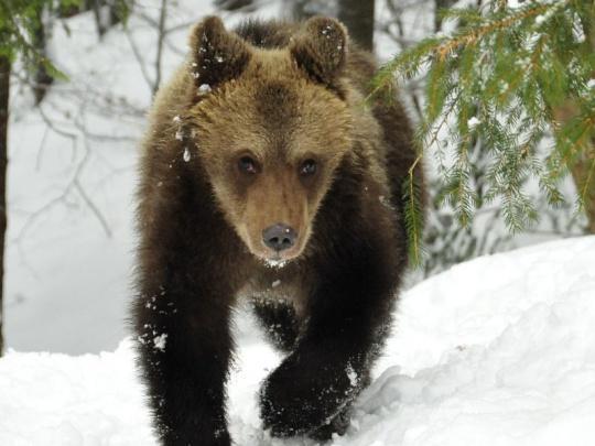 Analýza: Medveď na Slovensku v číslach