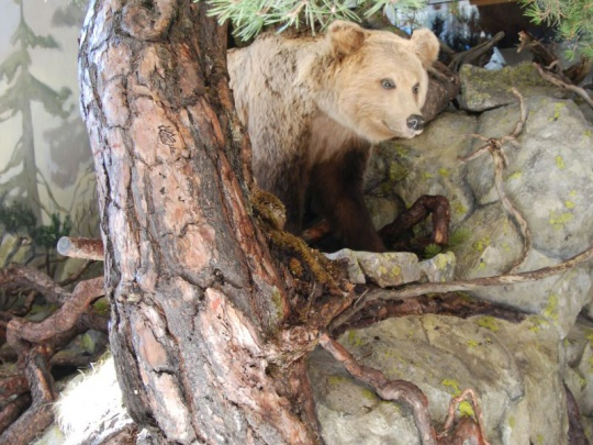 Útoky medveďa podľa Štátnej ochrany prírody nesúvisia s nárastom jeho populácie