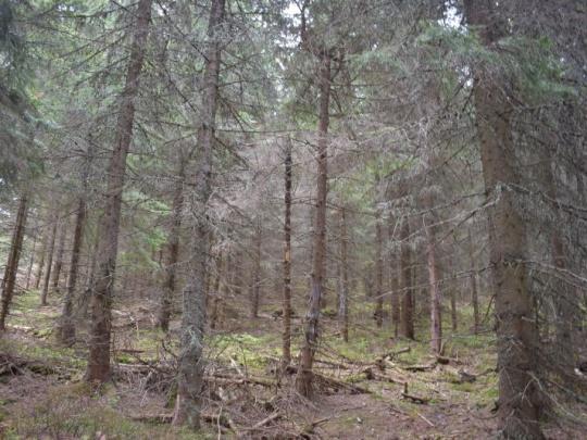 Po lykožrútovi sa pustil do tatranských lesov aj tvrdoň