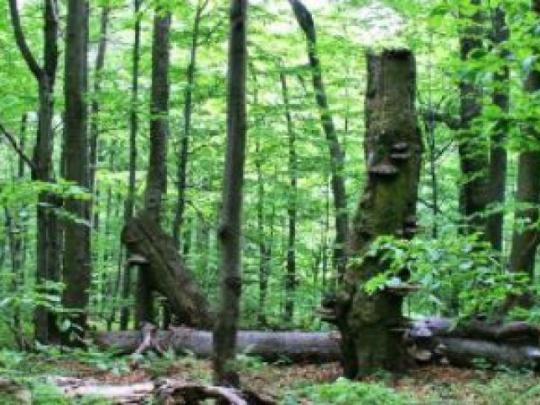 Karpatské bukové lesy v ohrození?