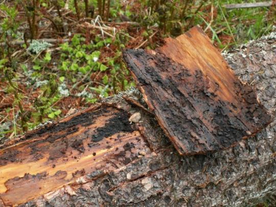 Lykožrút ničí lesy aj vo Francúzsku, v Európe je odhadom až 100 miliónov kubíkov kalamitného dreva