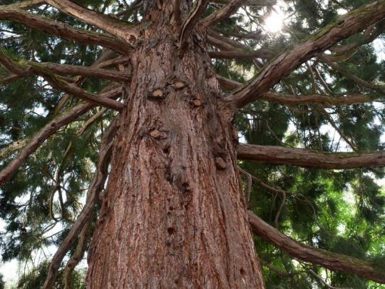 Podľa čínskych vedcov sú stromy vlastne nesmrteľné. Pripúšťajú však, že aj stromy starnú