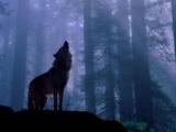 Vlky zavítali do Zvolena