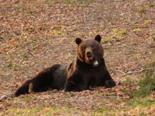 Medvede zbavia obojkov