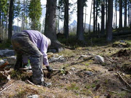 Štátni lesníci vysadia v tomto roku v TANAP-e 350 000 sadeníc