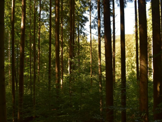 Zelená správa: Na Slovensku prevládajú stabilnejšie listnaté, zmiešané a prirodzené lesy. Dominujú buk, smrek a dub. Zastúpenie ihličnanov sa dlhodobo znižuje