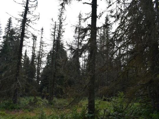 Anketa: Lesy treba pred lykožrútom brániť. Nenechať to iba na prírodu