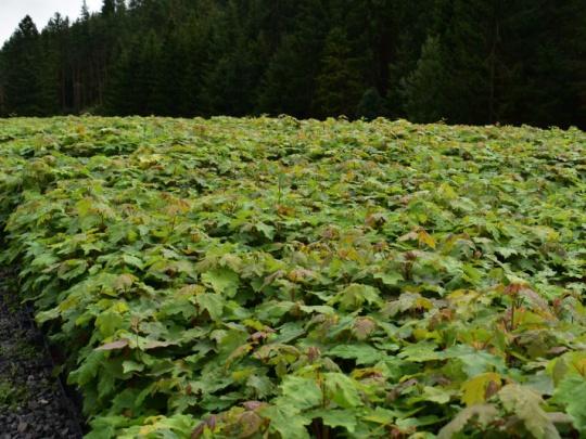 Lesy ČR: Česi vysadia v tomto roku niekoľko miliónov najmä listnatých stromčekov
