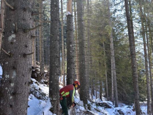 Vlci napadli drevorubačov