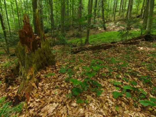 Bukové pralesy: nové hranice a presnejšie pravidlá pre vlastníkov lesov